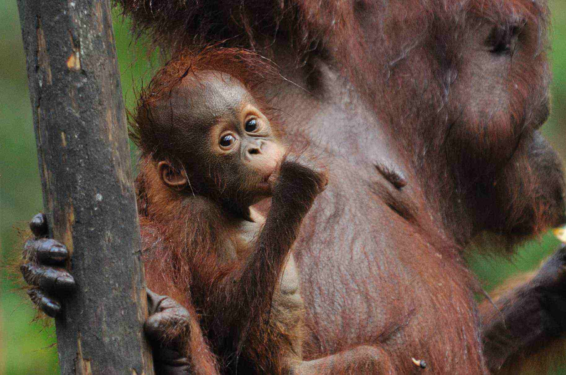 balikpapan, samboja, bukit bankirai, orangutan, wildlife safari, tour, trip guide, proboscis monkeys jungle