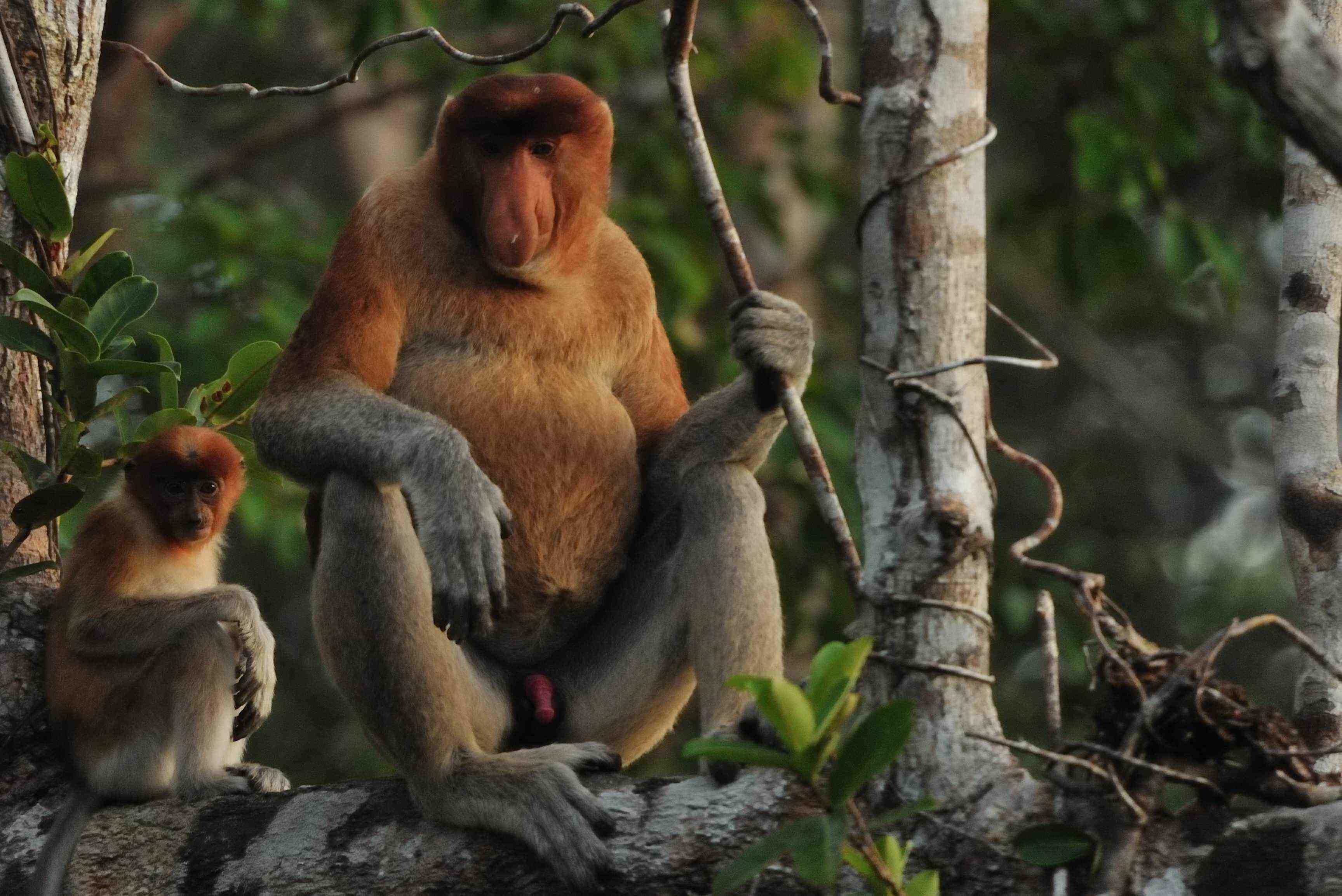 tanjung puting orangutan wildlife proboscis monkey, banjarmasin floating market, loksado bamboo rafting, meratus mount rain forest, mahakam river cuise dayak culture art longhouse tour trip guide