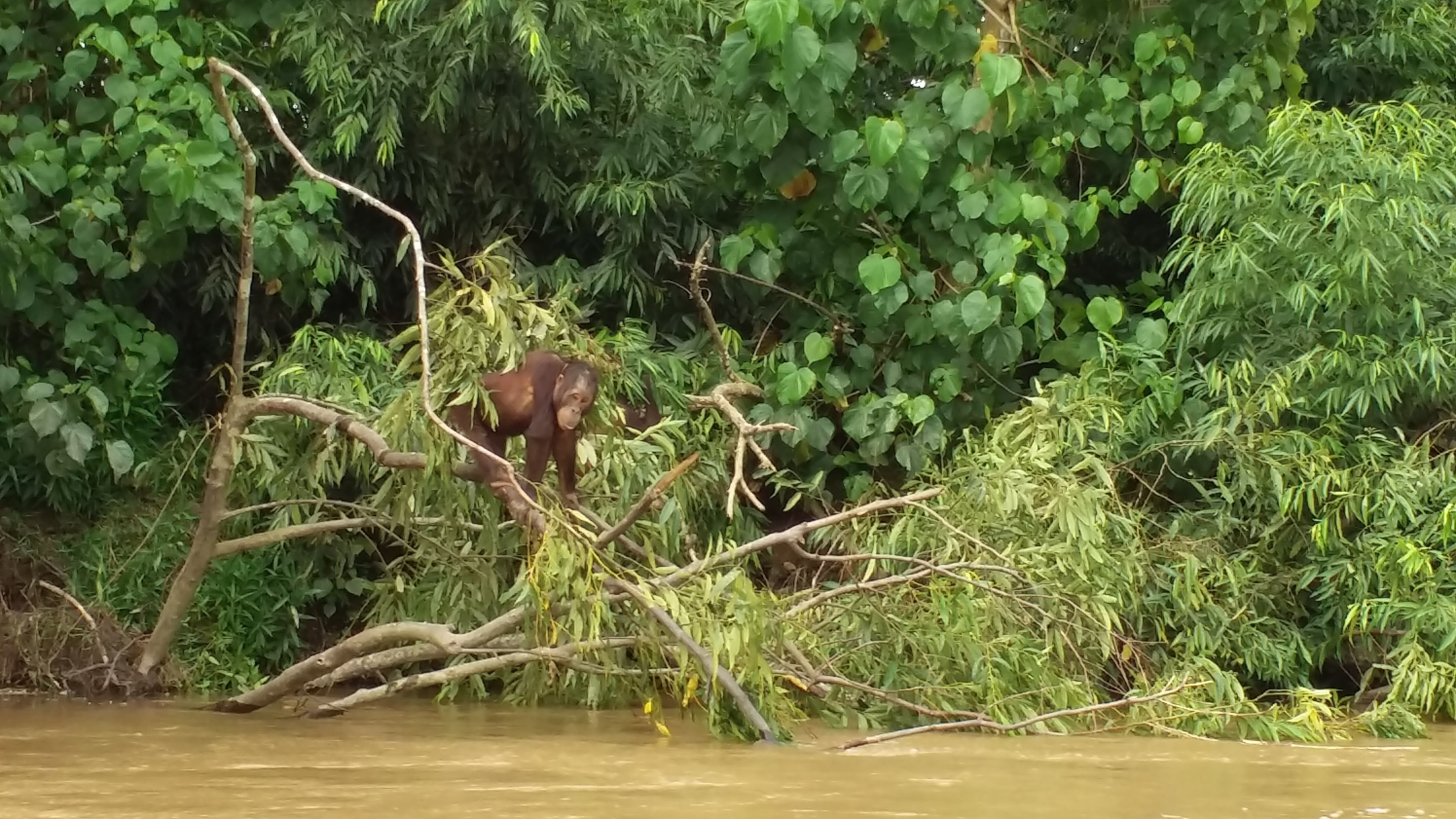 orangutans, cloud leopard, proboscis monkeys, spiders, snakes, monkey, forest, jungle, whale shark, sun bear, birds, lizards