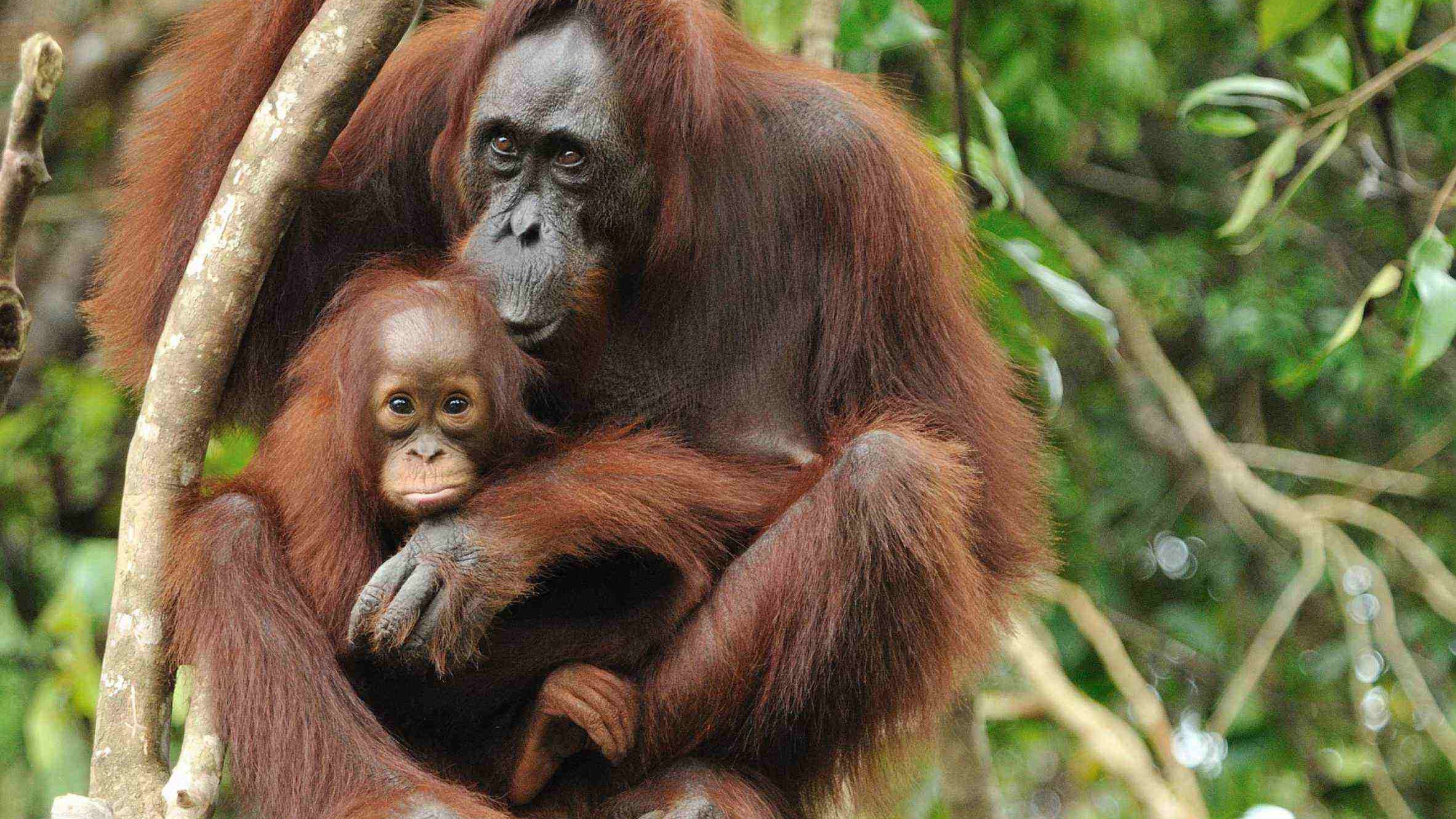 Kutai Park wild orangutan jungle tour, rain forest wildlife Kalimantan Indonesia Borneo safari guide trip