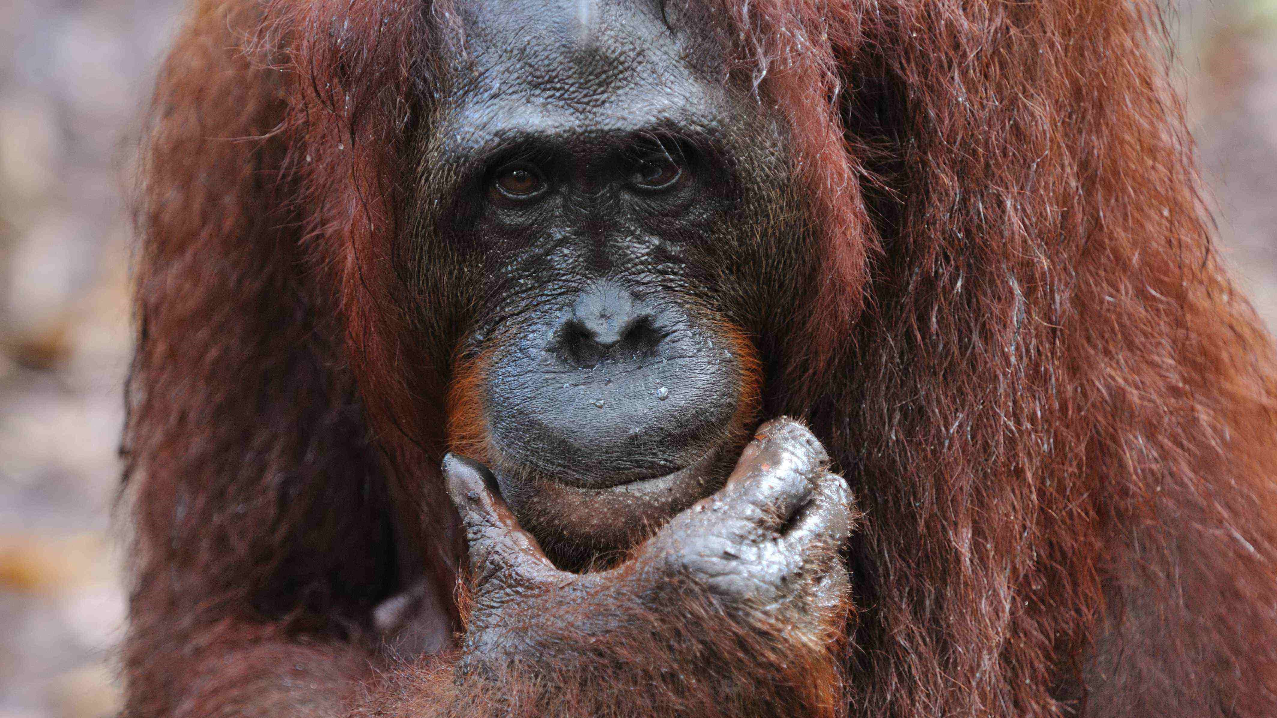 kutai park, orangutan, wildlife safari, tour, trip guide, jungle cruise